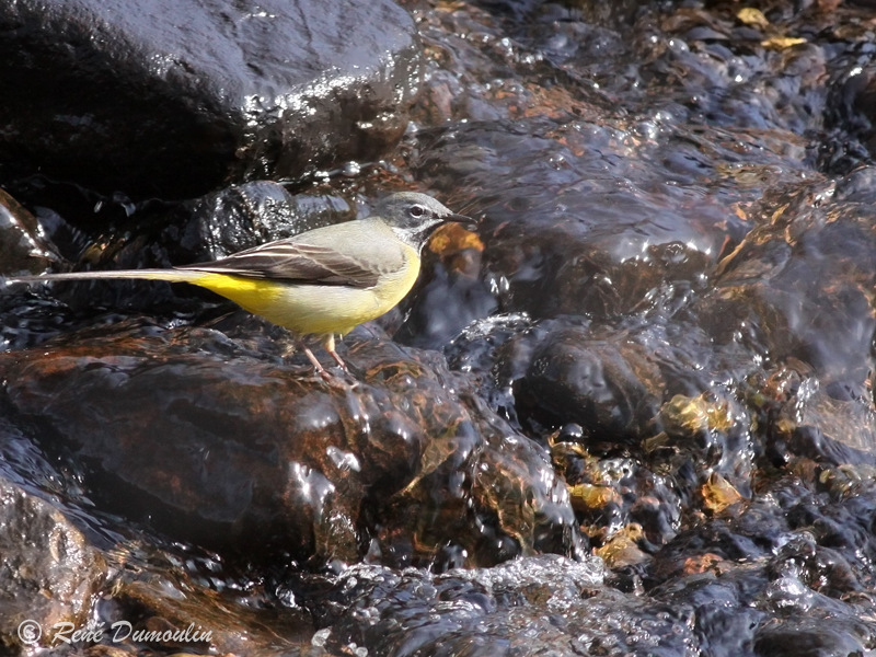 Heid des gattes for Oiseau longue queue ventre jaune